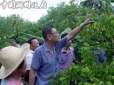 子里多棵杨桃树的树叶